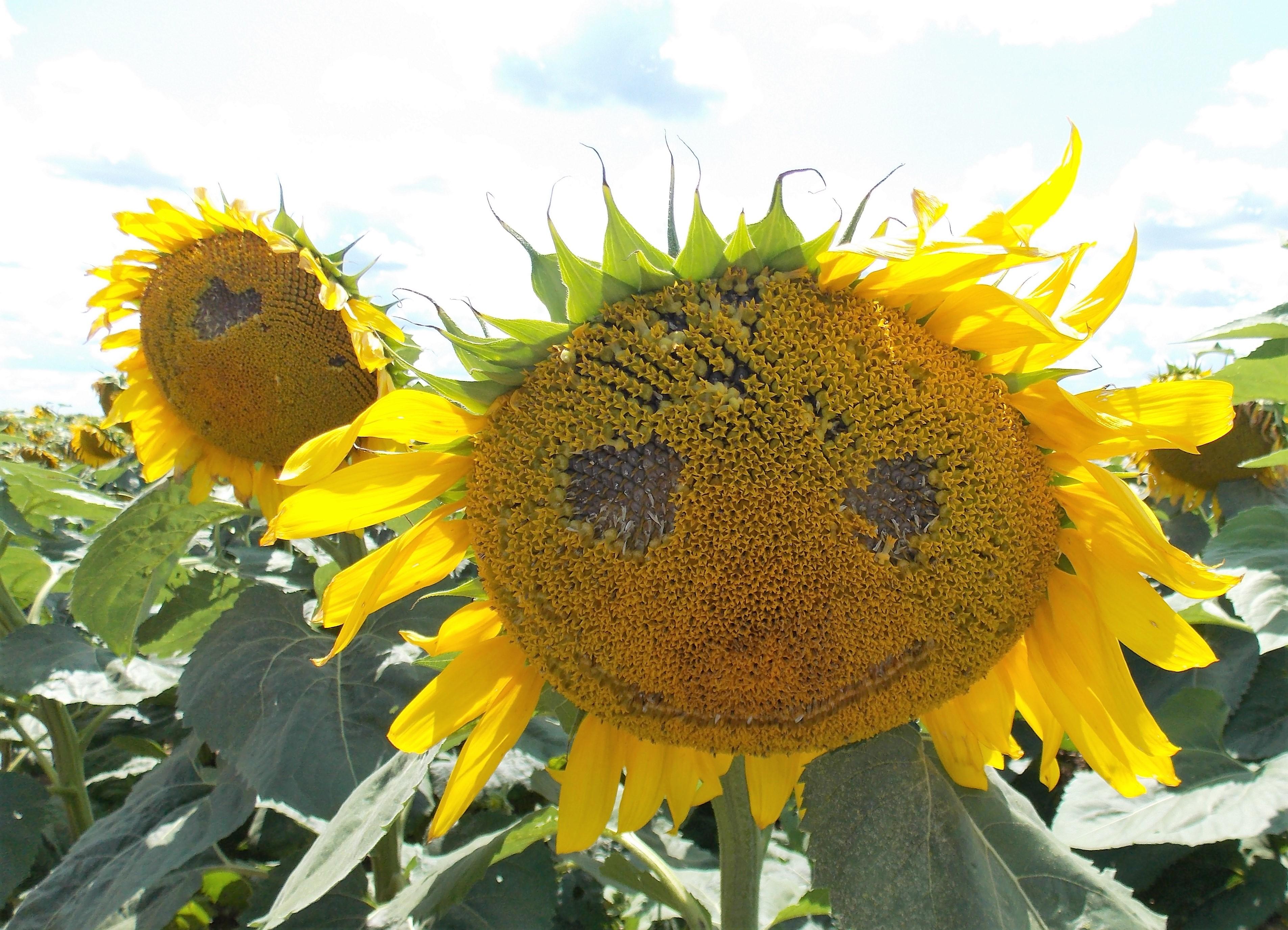 Summer Field Trip Sunflower Festival Life As A Field Trip